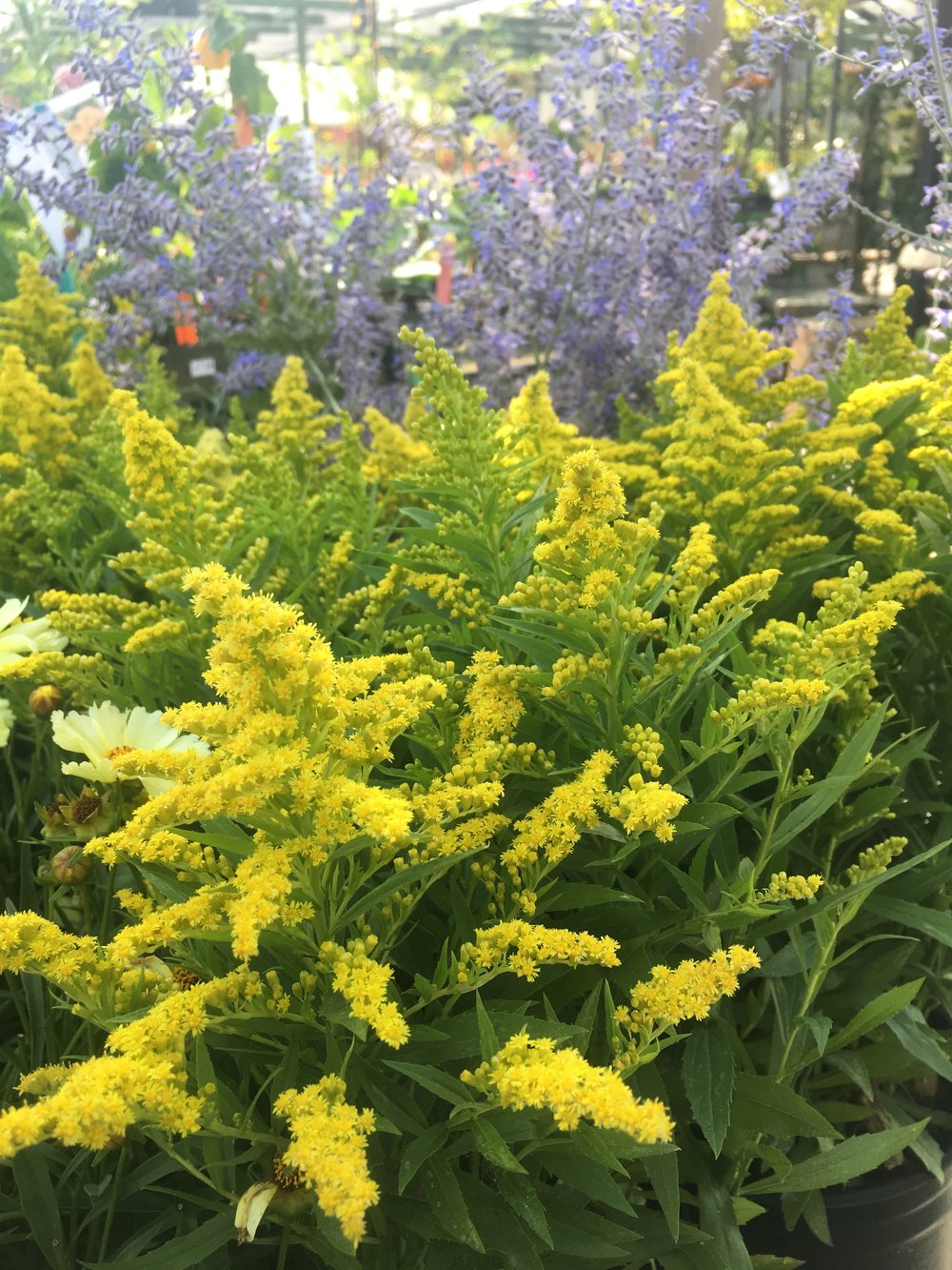 Solidago 'little lemon'