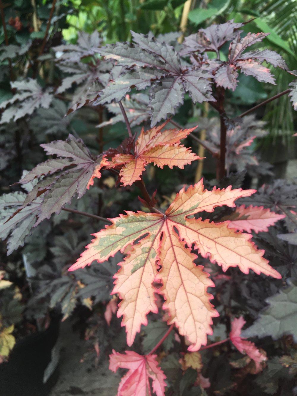 Hibiscus 'haight ashbury'