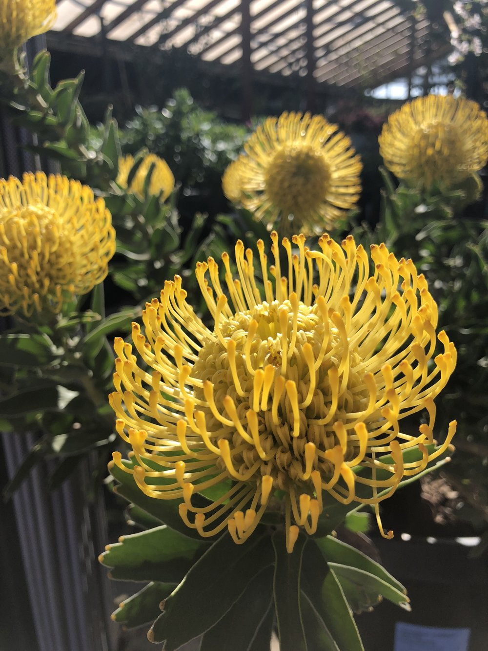 Leucospermum 'yellow bird'