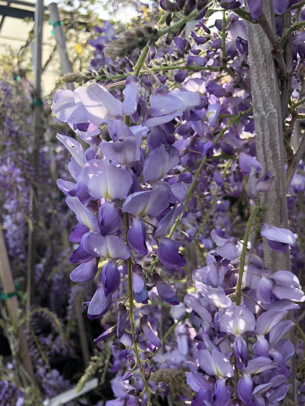 Wisteria 'cooke's Special purple'