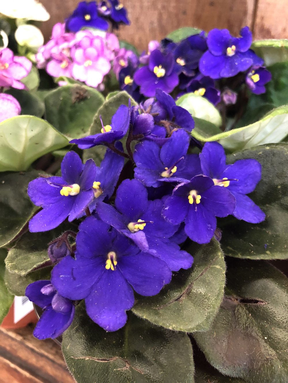 Saintpaulia better known as African Violet