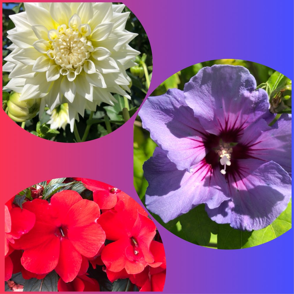 red - impatiens sunpatiens red, white - dinner plate dahlia, blue - hibiscus syriacus 'blue angel'