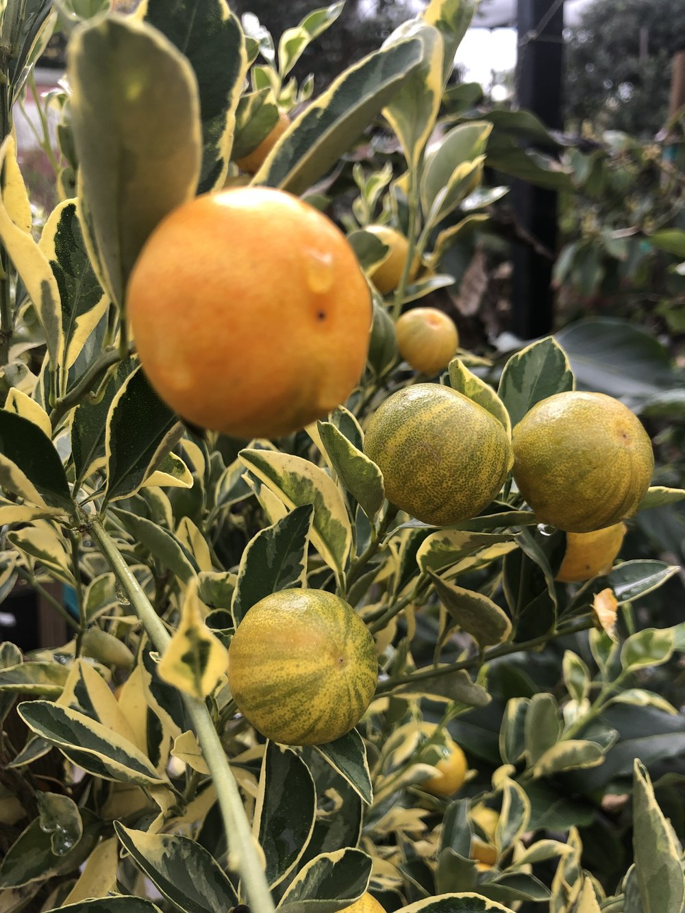 photo of a Calamondin variegated