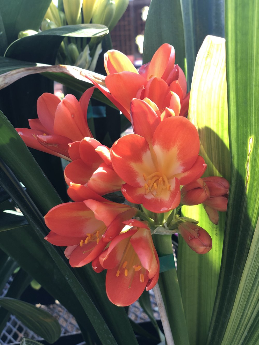 Clivia robusta orange