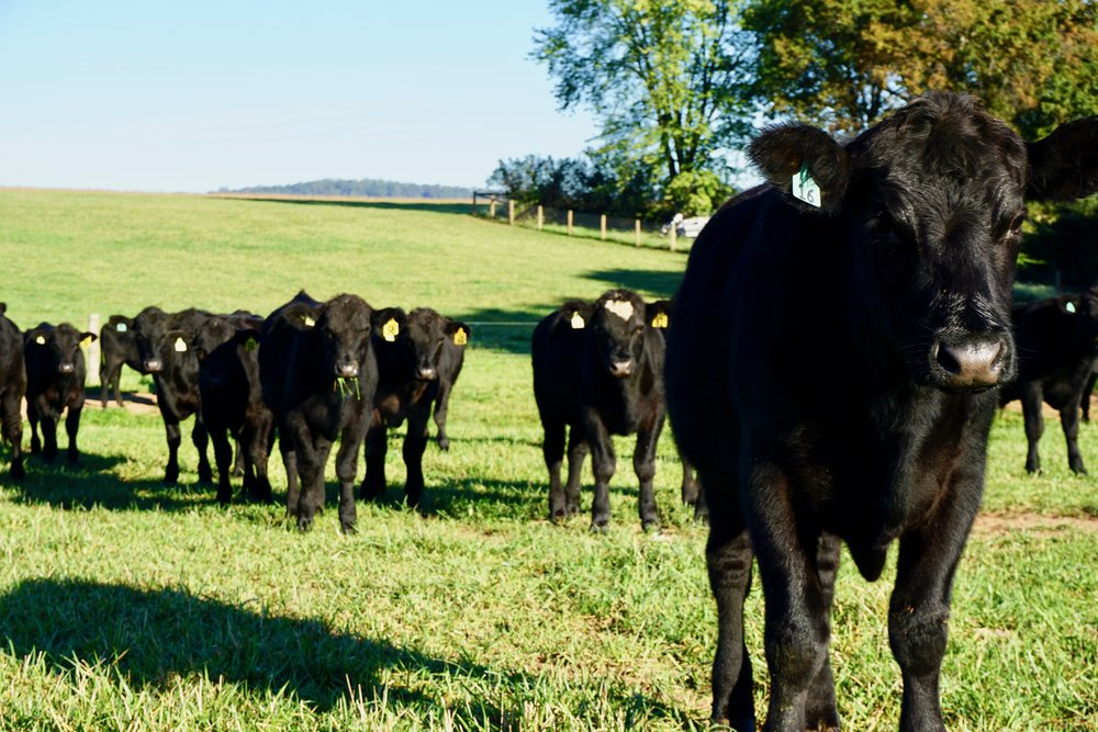 PURVEYORS OF GOURMET QUALITY 100% GRASS-FED BLACK ANGUS BEEF -