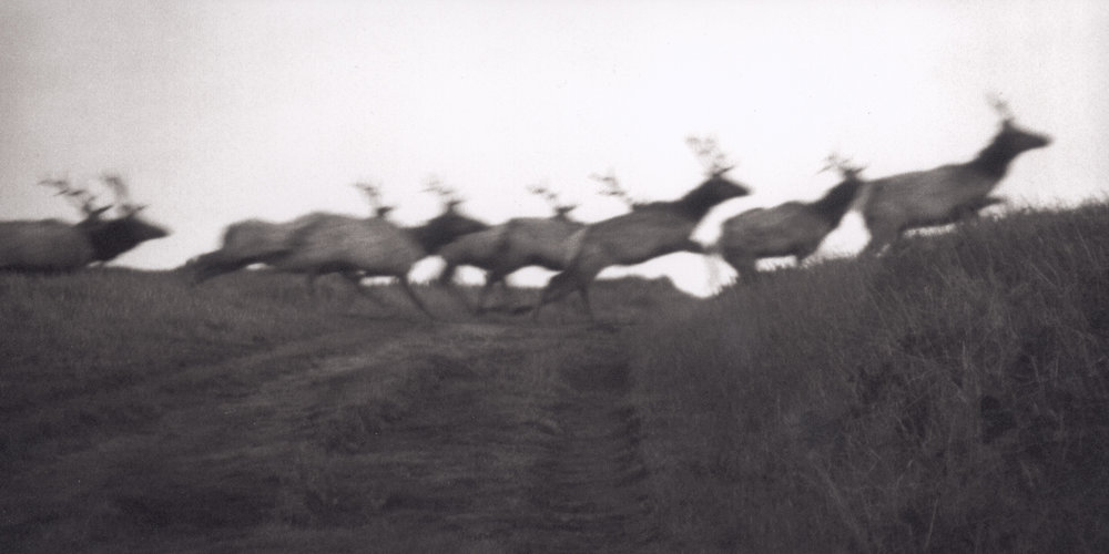 Running Elk, Tomales Point