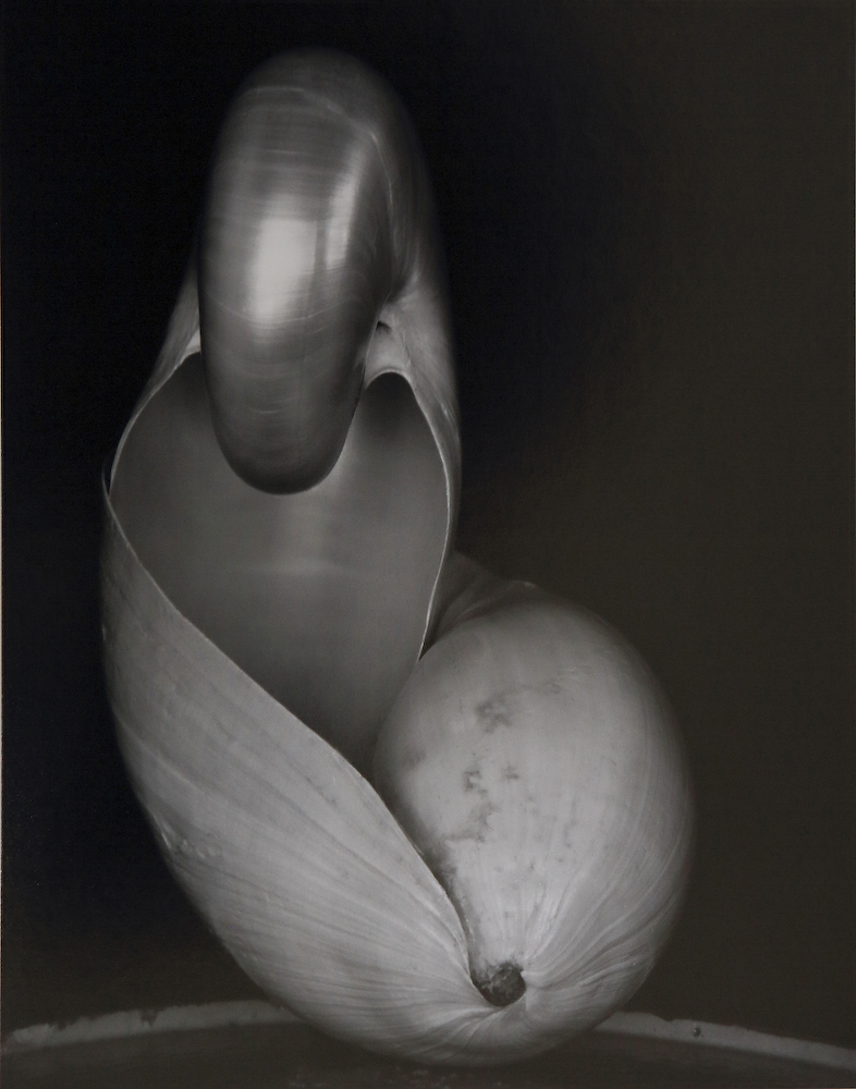 edward weston, shell (1927)