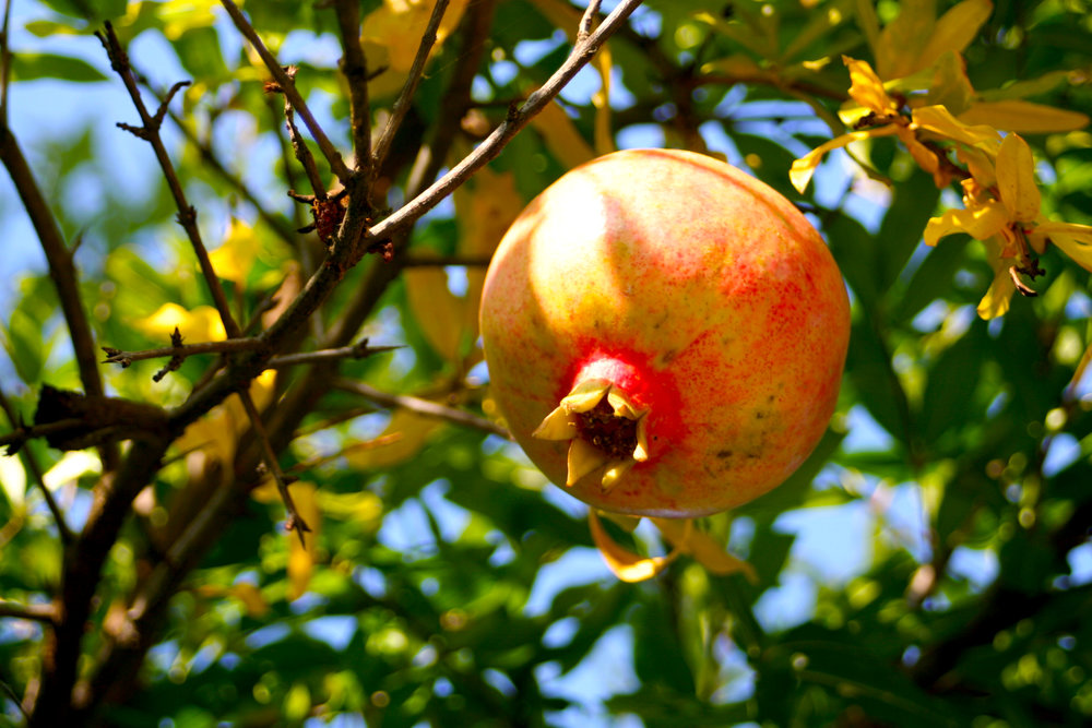 Pomegranate_Photo by Jen Laskey.jpg