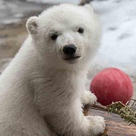 toronto-polar-bear-cub-juno-pose.jpg
