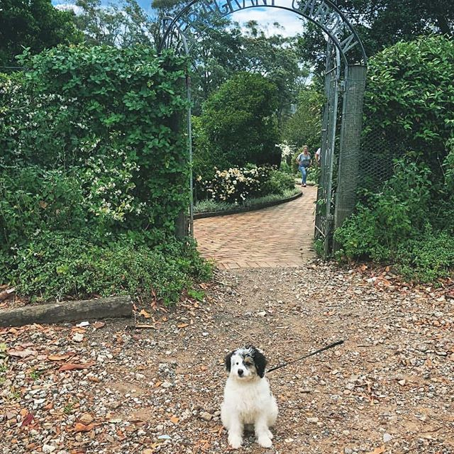REGRAM 👉 We love having our furry friends visit too. I hope you had a woofing good time @sully_thebordoodle 🐶🌿 #distillerybotancia #visitdistillerybotanica #centralcoastscenicsips