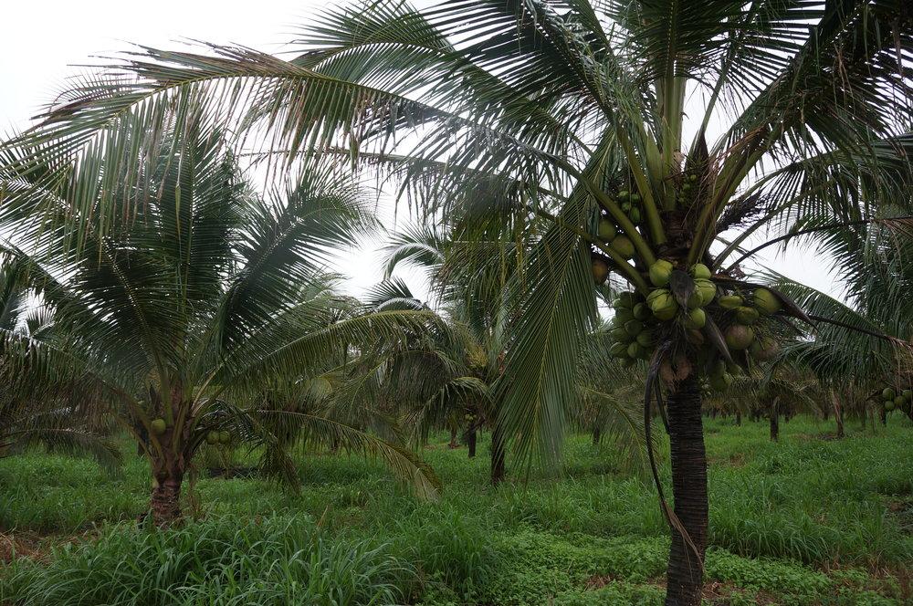 SOMA coconut plantation