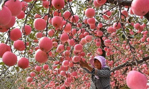 apple grower