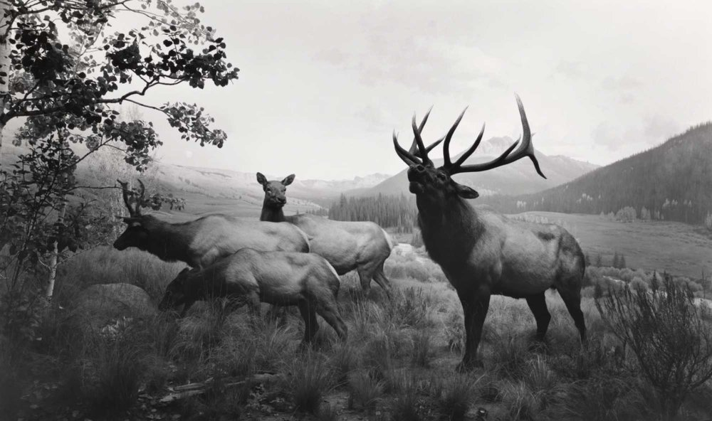 Wapiti | 1980 | © Hiroshi Sugimoto / Courtesy of the artist
