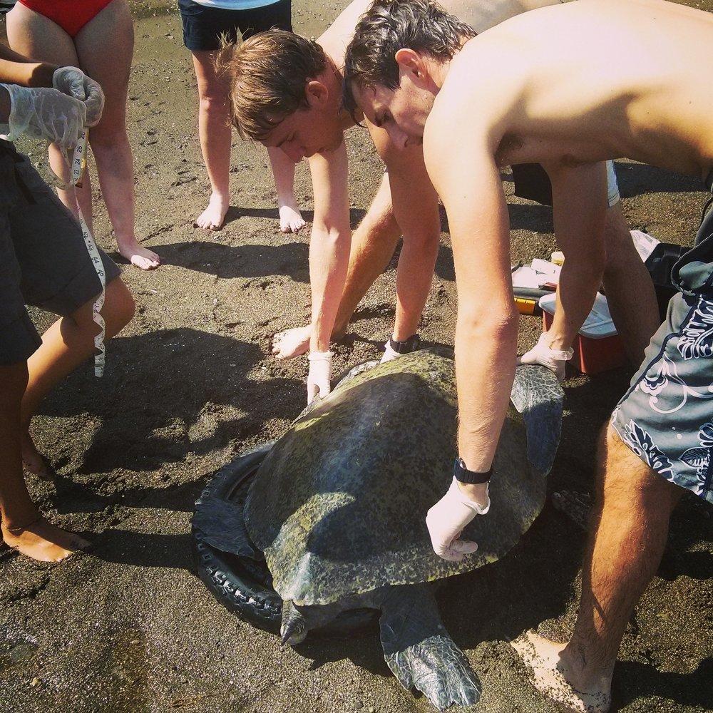Volunteers check a green sea turtle's biometics.