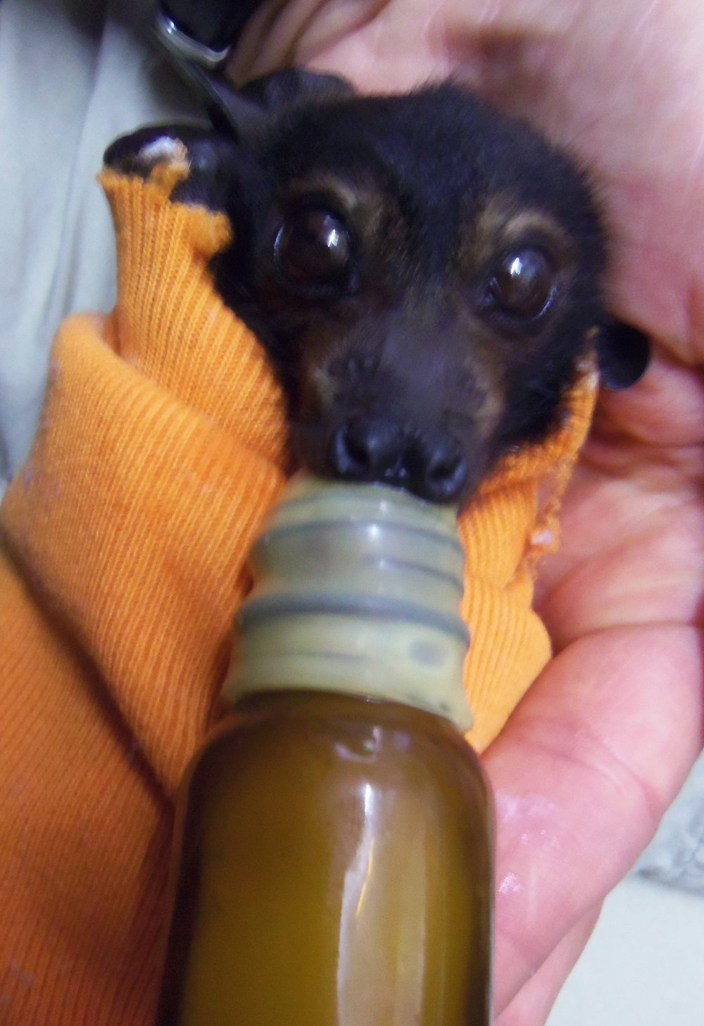Baby Flying fox.JPG
