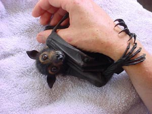 Hanging out with flying foxes!