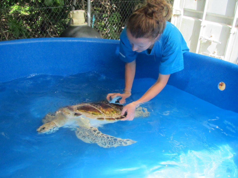 Volunteers clean a sea turtle in care.