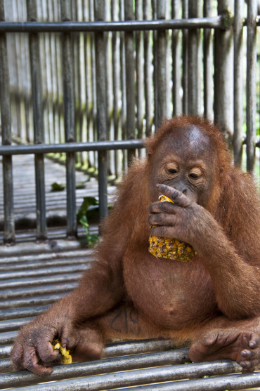 An orangutan in care.