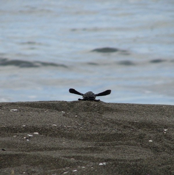 Pacuare - hatched leatherback.jpg