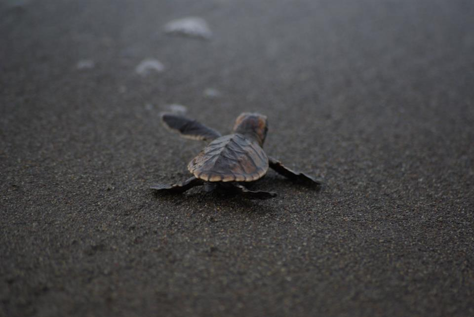 Pacuare - hatched hawksbill.jpg