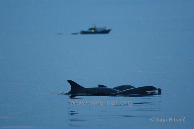 dolphins and fishing boat wm.jpg