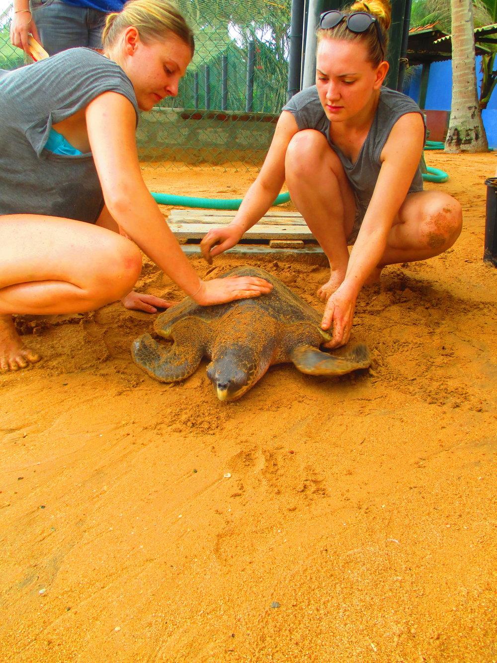 Volunteers clean a sea turtle in care.
