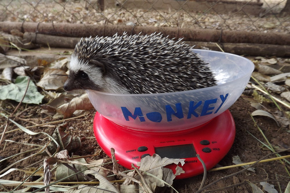 hedgehog-weigh-in_37615171211_o.jpg