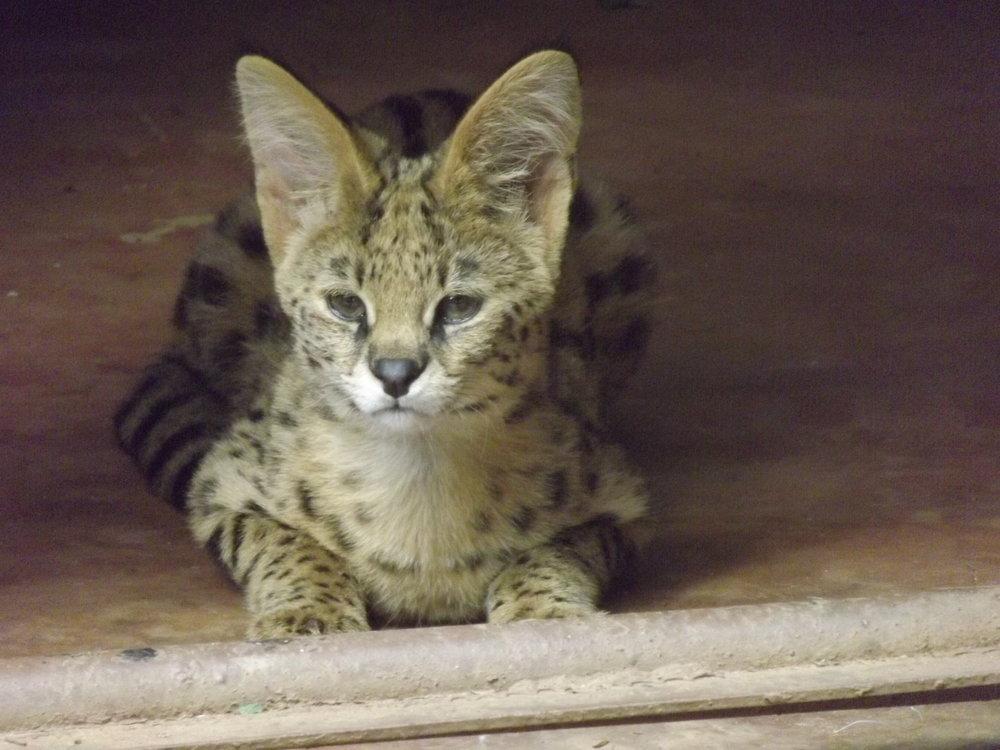 serval-cat_23762169788_o.jpg