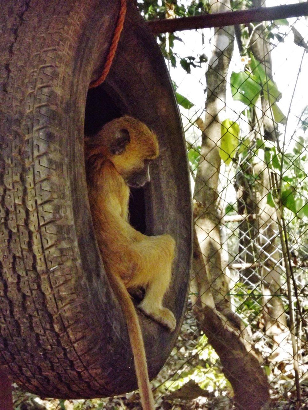 yellow-baboon_36944493483_o.jpg