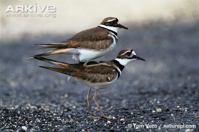 Killdeer-male-on-females-back-prior-to-mating
