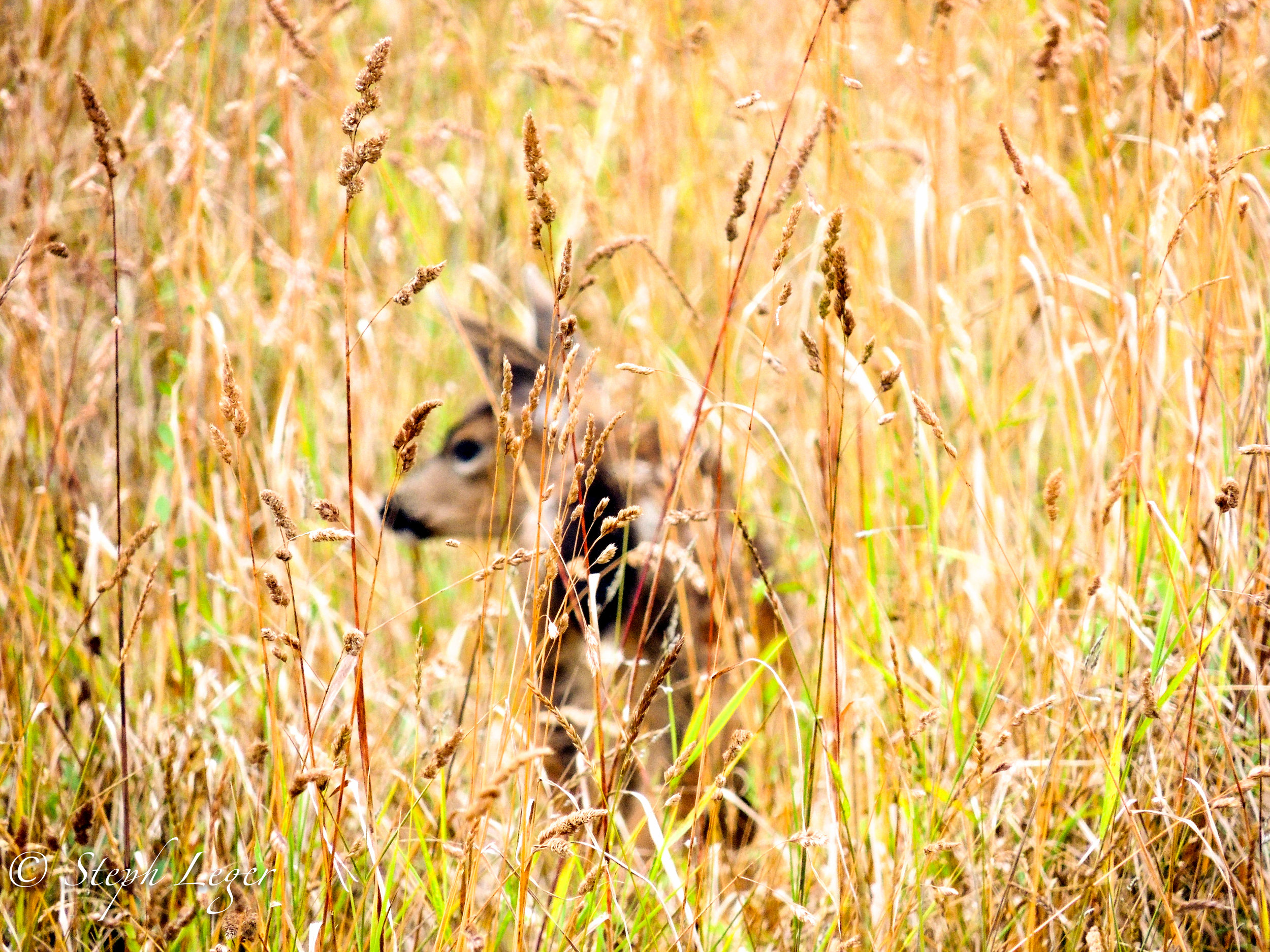 Black-tailed Deer (Odocoileus hemionus columbianus) fawn in tall grass - Protection Island, WA