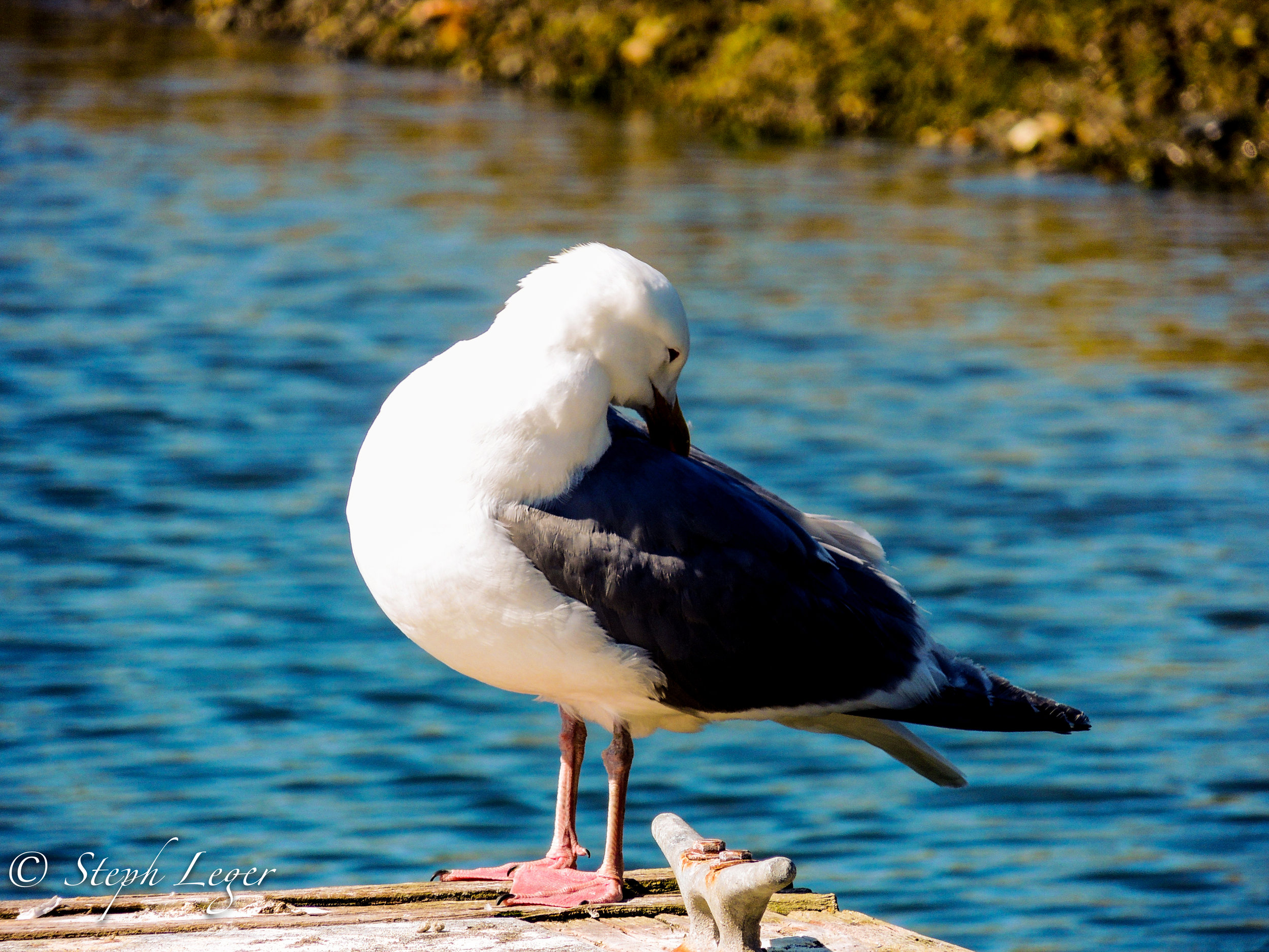 Glaucous-winged Gull (Larus glaucescens) - Protection Island, WA