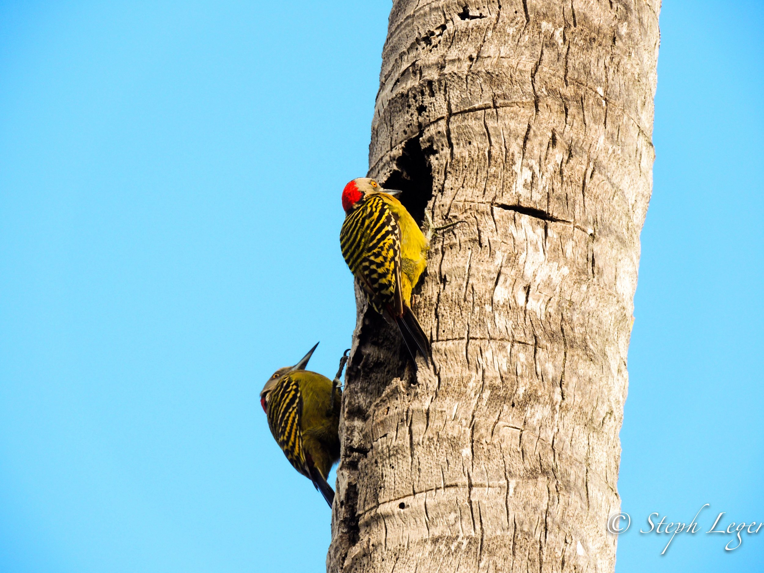 Hispaniolan Woodpecker (Melanerpes striatus) parents at nest cavity