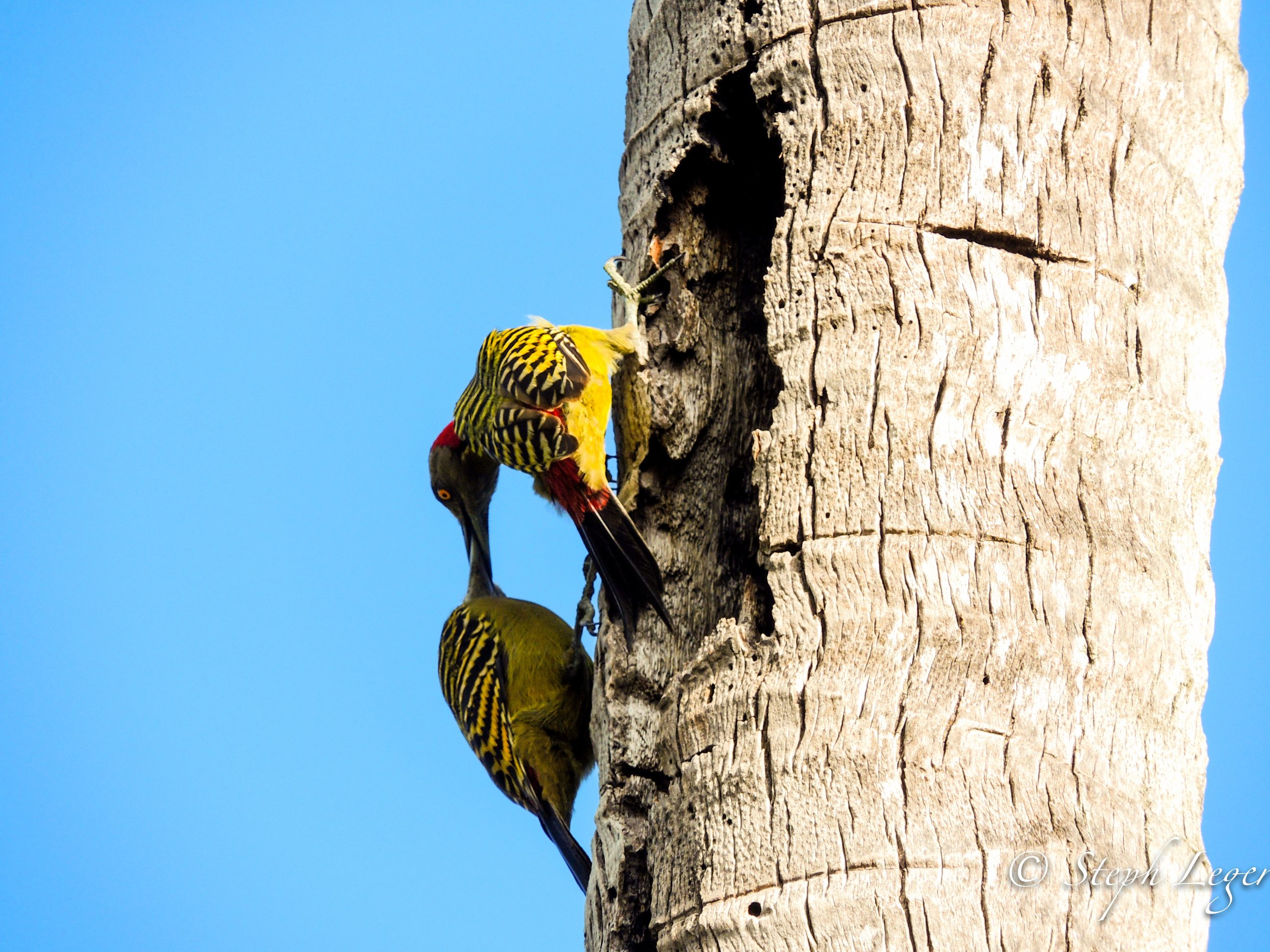 Hispaniolan Woodpecker (Melanerpes striatus) parents feeding nestlings