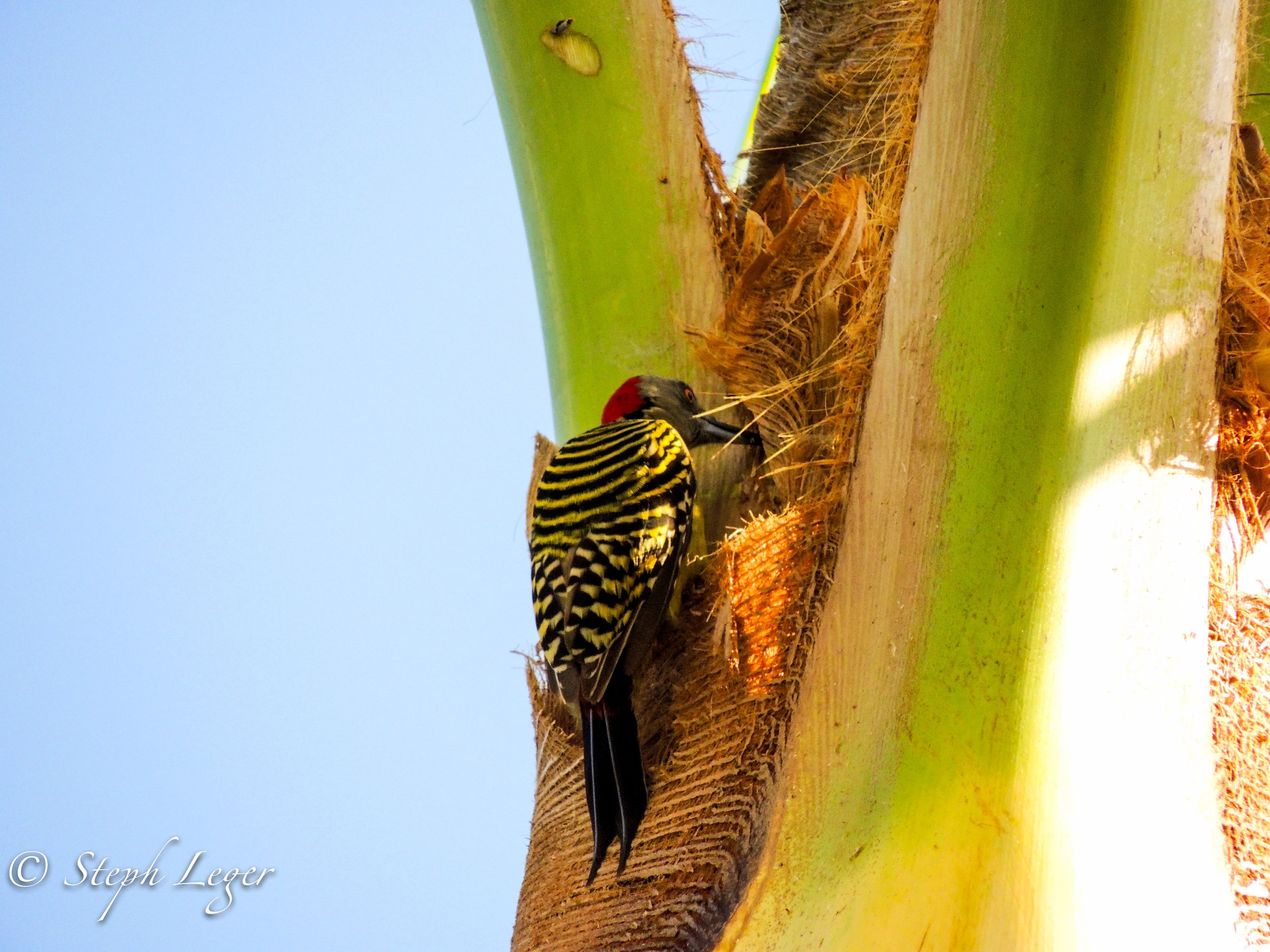 Hispaniolan Woodpecker (Melanerpes striatus) feeding