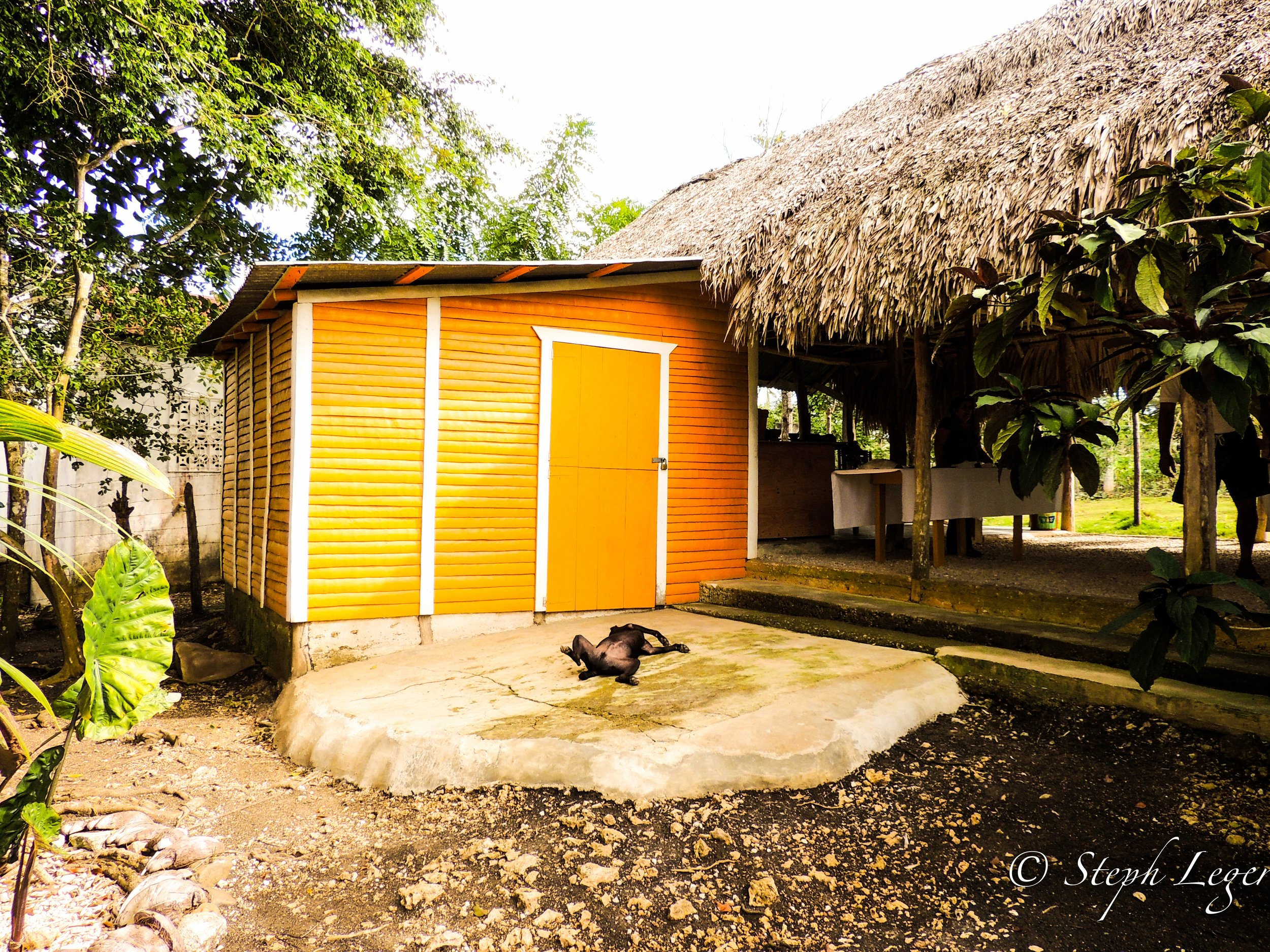 Family dog cooling off midday near a coconut plantation building