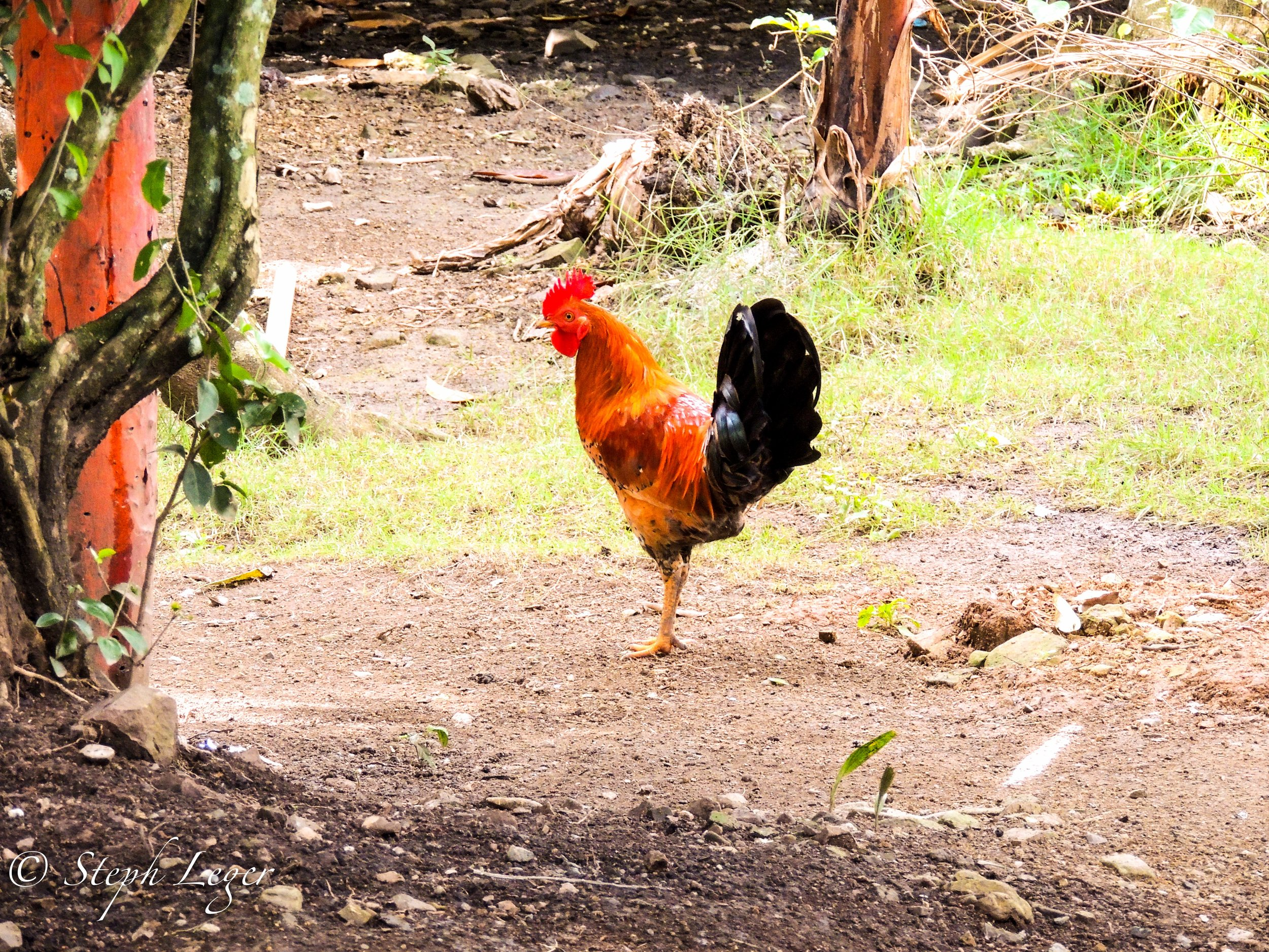 Red Junglefowl (Gallus gallus) in a Dominican yard