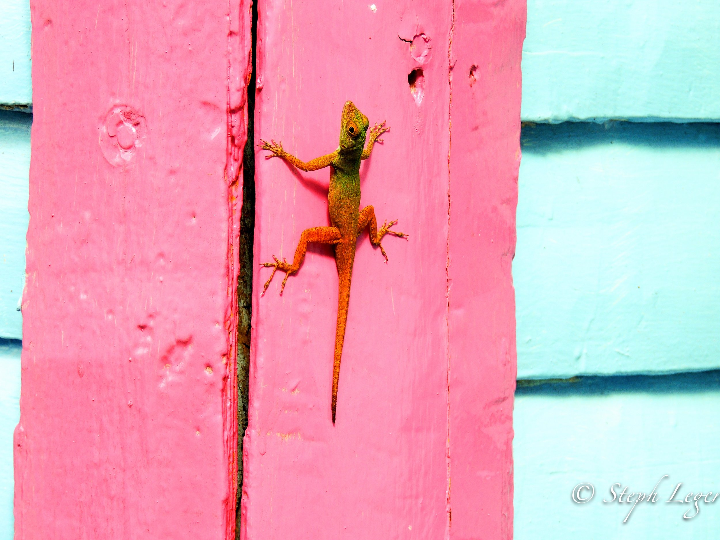 Anole spp. sitting on a Dominican home