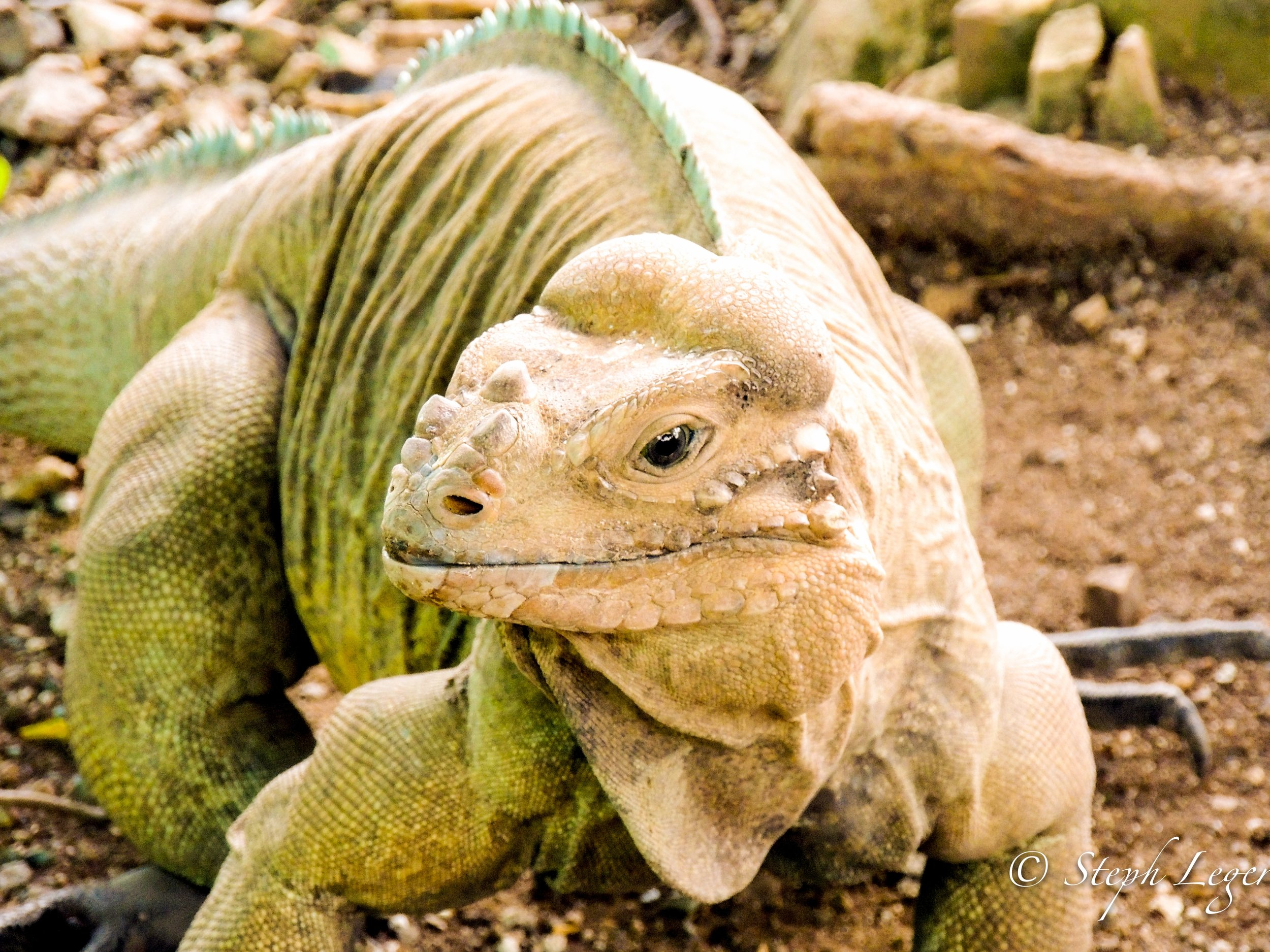 Rhinoceros Iguana (Cyclura cornuta) in Dominican Republic