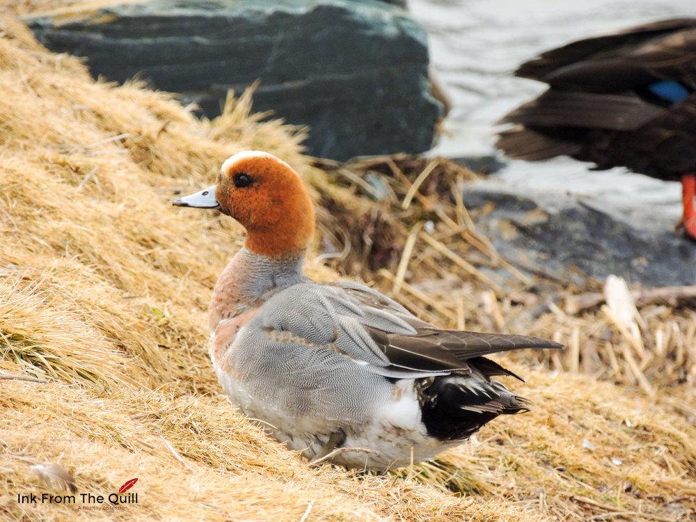 Eurasian Wigeon ( Mareca penelope ) - Quidi Vidi Lake, St. John's, Newfoundland
