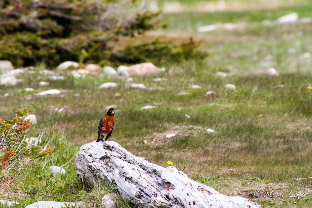 American Robin (Turdus migratorius) - Arches Provincial Park, Newfoundland