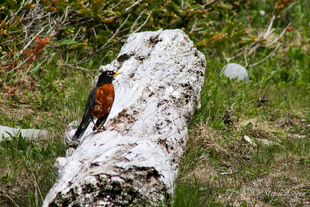 American Robin ( Turdus migratorius ) - Arches Provincial Park, Newfoundland