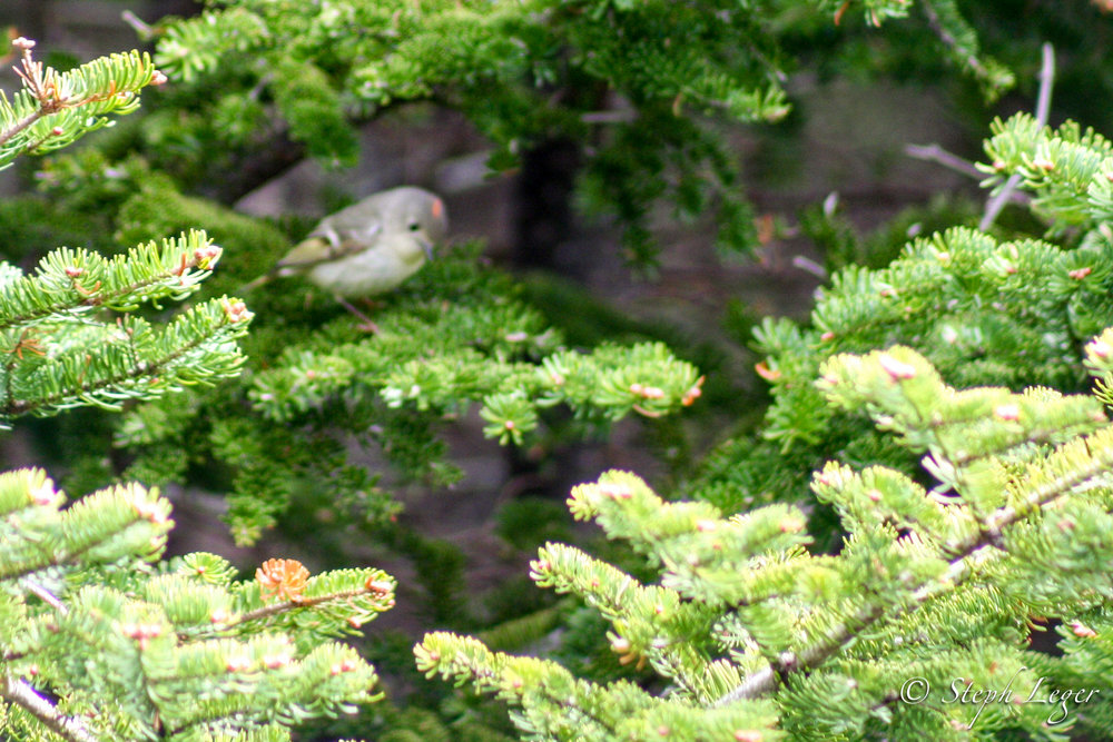 Ruby-crowned Kinglet ( Regulus calendula ) - Arches Provincial Park, Newfoundland