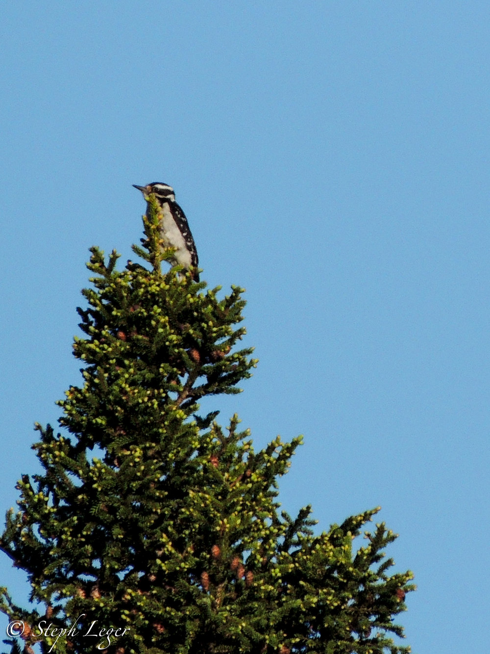 Hairy Woodpecker ( Leuconotopicus villosus ) female - Terra Nova National Park, Newfoundland