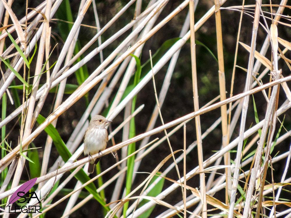 Spotted Flycatcher ( Muscicapa striata) - Comino, Malta