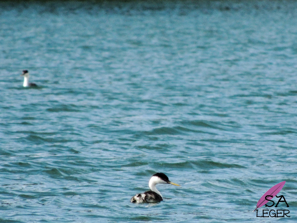 Western Grebes (Aechmophorus occidentalis) - Blue Mesa Reservoir, Colorado