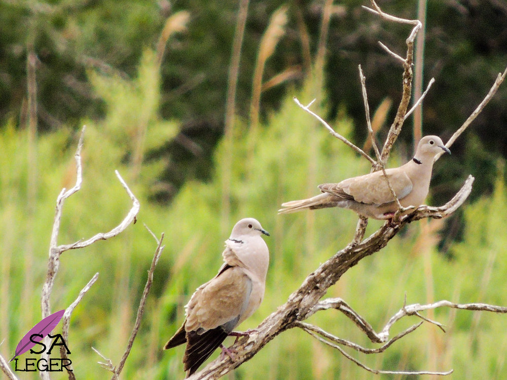 Eurasian Collared-dove ( Streptopelia decaocto ) male and female - Għadira Nature Reserve, Malta