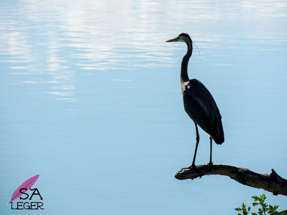 Great Blue Heron ( Ardea herodias ) - Confluence Park, Delta, Colorado
