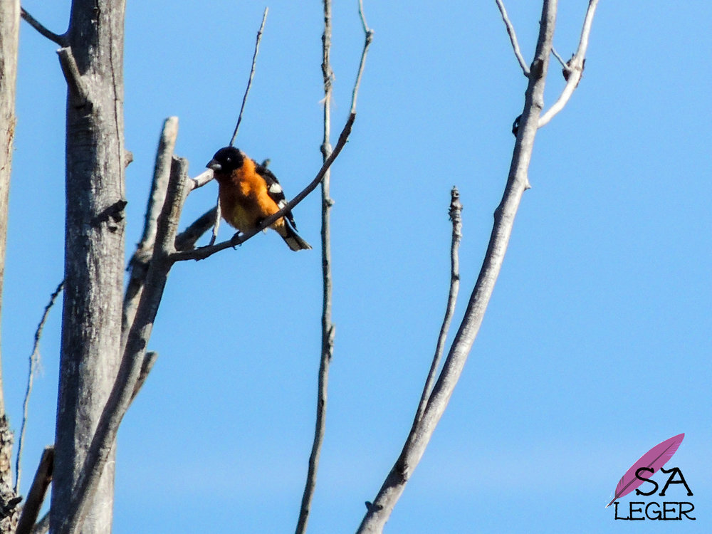 Black-headed Grosbeak ( P  heucticus melanocephalus ) - Confluence Park, Delta, Colorado