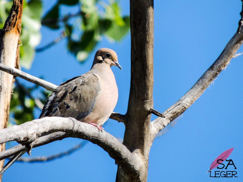 Mourning Dove ( Zenaida macroura ) -Confluence Park, Delta, Colorado